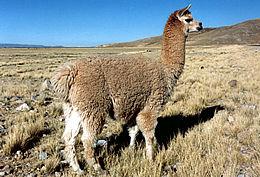 Steiff Luxurious Materials - SCHULTE ALPACA - ALPACA: Inca Gold